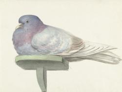 Pigeon Sit