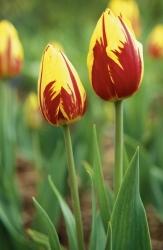 Tulipa 'Mi