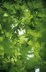 Acer palma