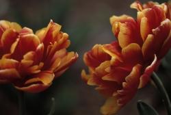 Tulipa all