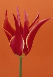 Tulipa 'Qu