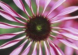 Echinacea,