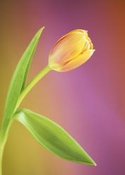 Tulipa 'Be
