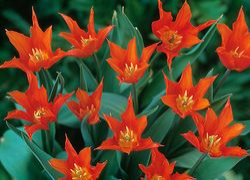 Tulipa 'Ba