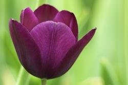 Tulipa 'Ne
