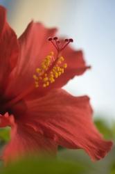 Hibiscus r