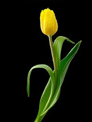 Tulip with