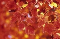 Acer rubru