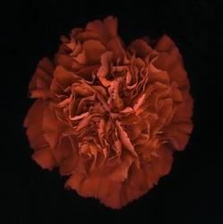 Dianthus c