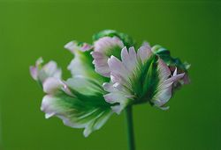 Tulipa 'Gr