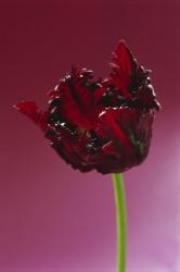 Tulipa 'Bl