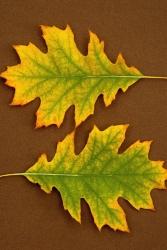 Quercus ru