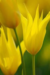 Tulipa spe