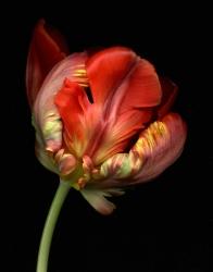 Tulipa 'Bi