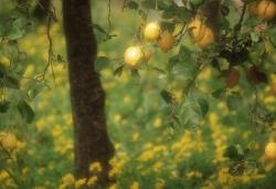 Citrus lim