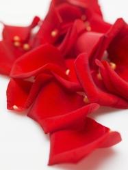 Red rose p
