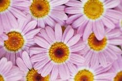 Pink edibl