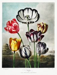 Tulips (18