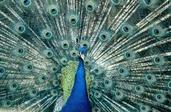 Peafowl, I